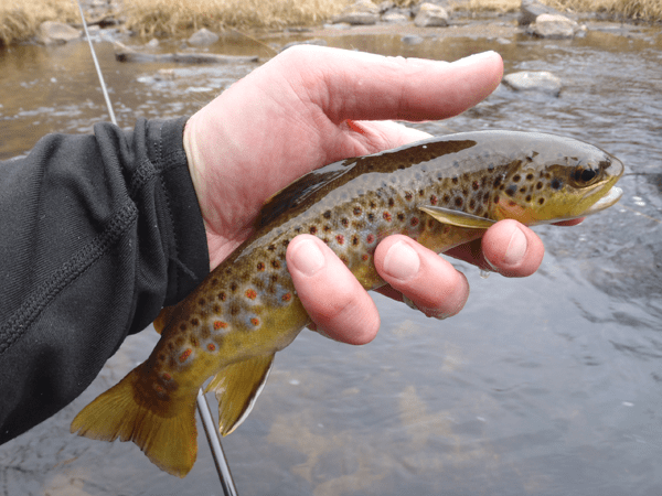 Bear Creek Brown Trout