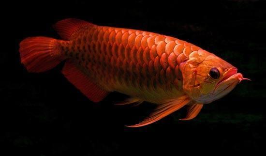 Arowana Fish 3d Live Wallpaper 10 Ikan Purba Zaman Prasejarah Yang Masih Hidup Tentik