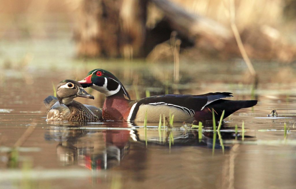 Merlin Wallpaper Hd Photographing Wood Ducks In The Wild