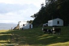 Suspicious cows at estancia Remolinos