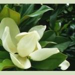 Les fleurs blanches en parfumerie