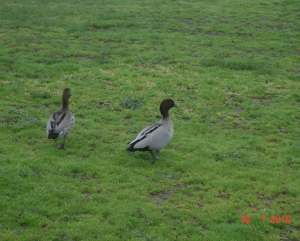 Wild Native Ducks Plenty River Greensborough Melbourne
