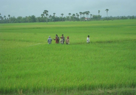 Ricefields lush and green Cambodian country side Phonm Pehn, Siem Reap