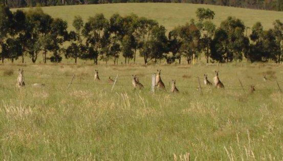 Red Kangaroos watching me watching them! Doreen.Melbourne Suburbs