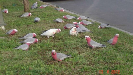 Tropical Fridays - Galahs and large beaked Corellas feeding - Doreen