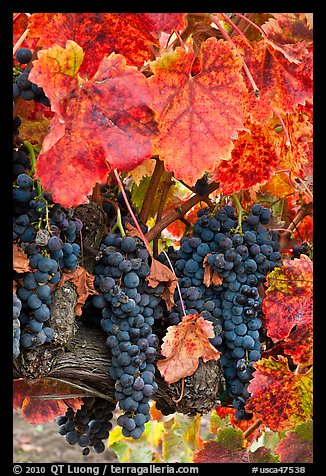 Fall Sunflowers Wallpaper Picture Photo Red Wine Grapes On Vine In Fall Napa