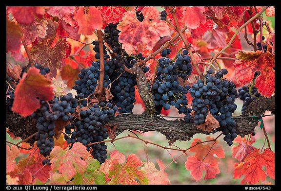High Resolution Wallpaper Fall Leaves Picture Photo Grapes And Red Leaves On Vine In Fall Napa