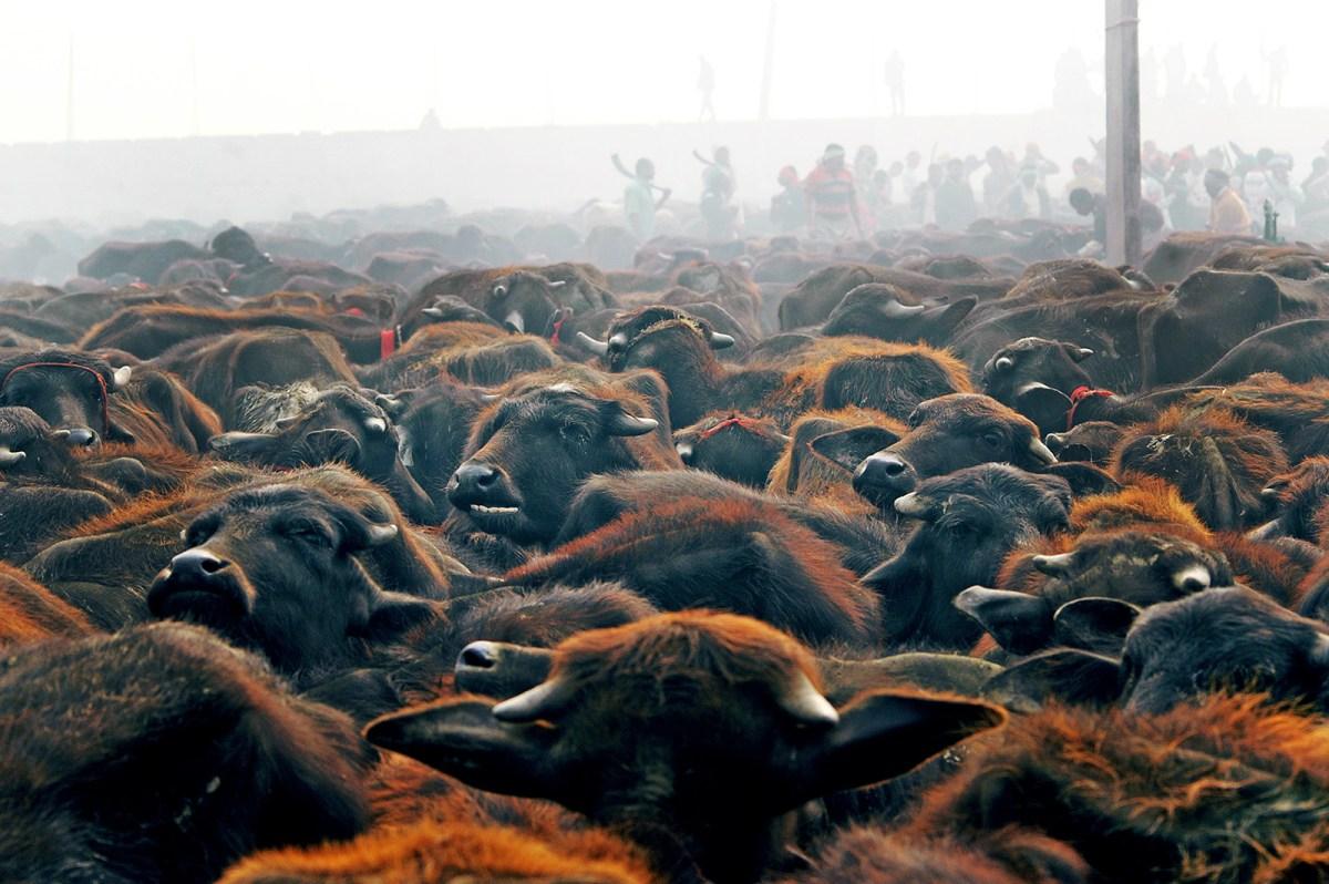 Animal Sacrifice At Gadhimai Festival Banned Indefinitely