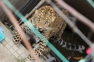 PHOTO/VIDEO: Leopard Strayed In Kuleshwore, Now Under Control - TexasNepal