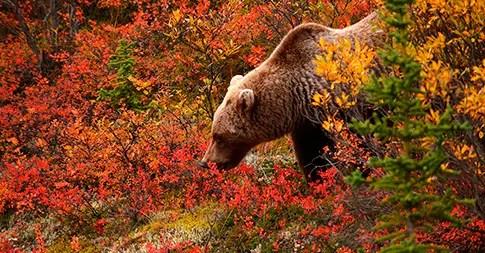 Fall 4k Wallpaper Grizzly Bears Fishing At Brooks Falls Alaska