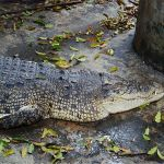Depressed woman commits suicide by crocodile in Samut Prakan