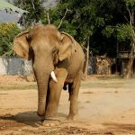 Thailand: British tourist injured in elephant rampage
