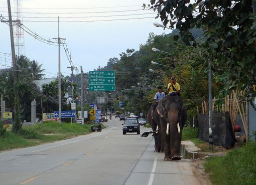 Elephants on the road in the southern part of Koh Samui