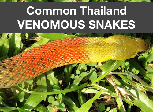 Common thailand venomous snakes photos videos links
