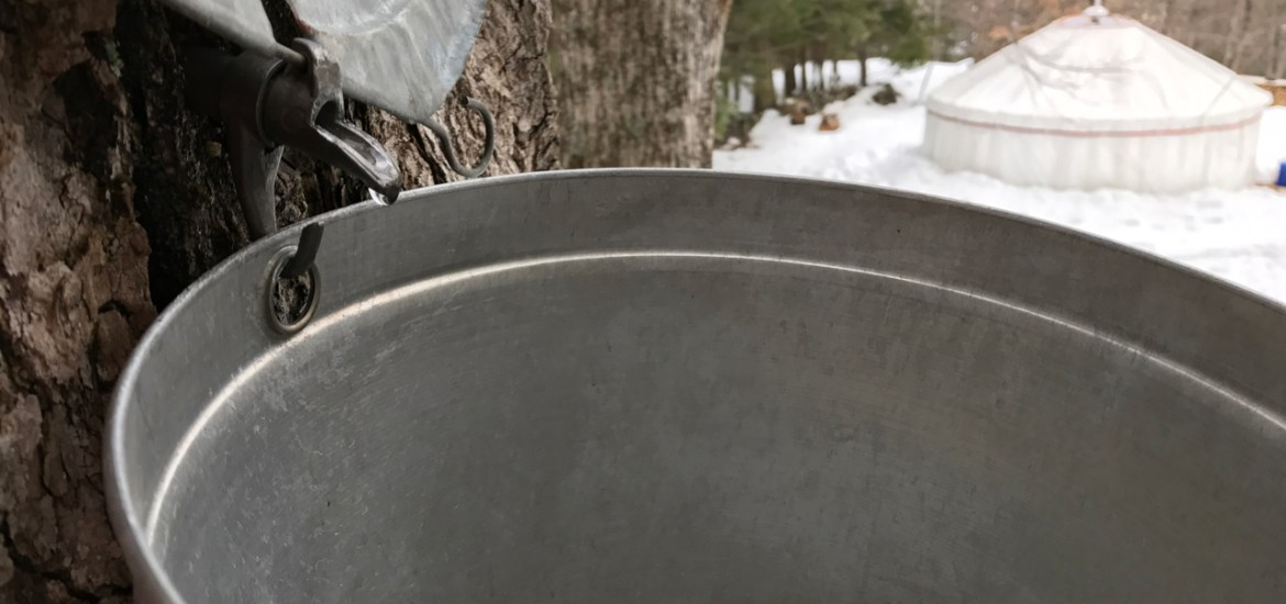 Tapping maple trees with traditional metal buckets and cast aluminum spouts
