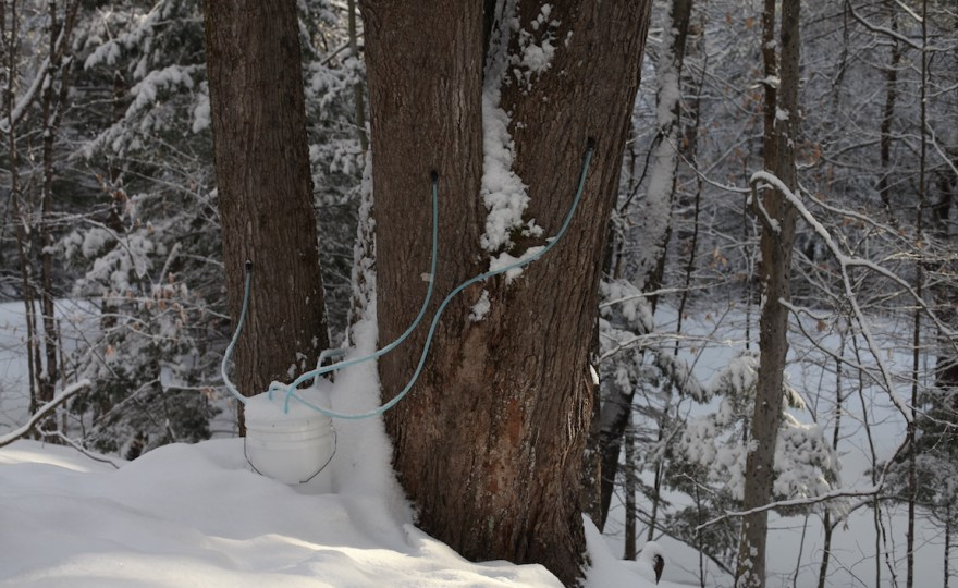 Backyard Sugaring: Collect Maple Sap with Five-Gallon Buckets