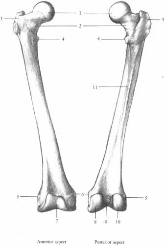 diagram femur bone