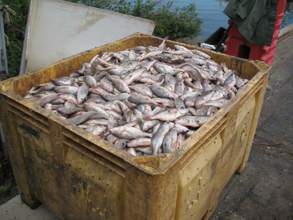 GANGSTER OUTLAW WATERMEN at WORK: Just a portion of the seized catch of undersized croaker from the Lumpkins family boats  by the NRP officers.