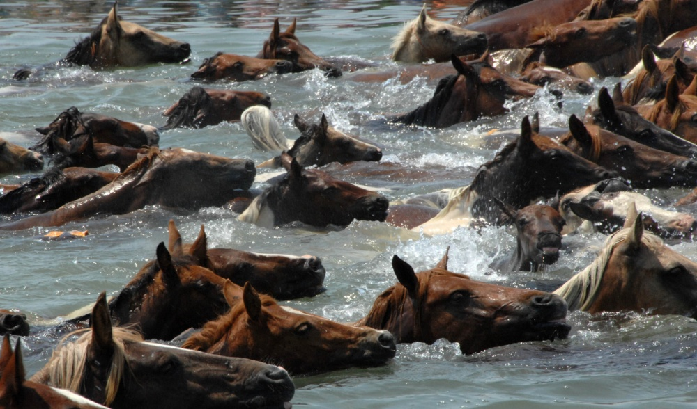 Pony Swim at Chincoteague Island from Assateauge Island on July 25, 2007. Photo by P O 2nd Class Christopher Evanson