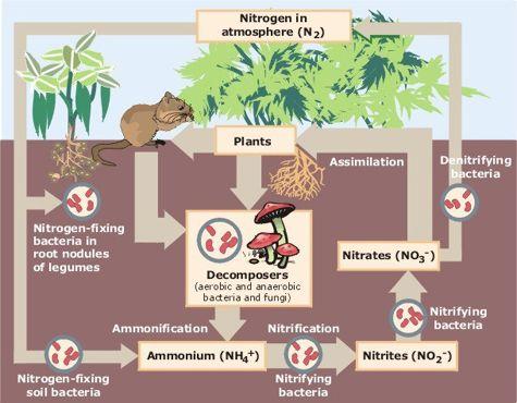 The Nitrogen Cycle - Nitrogen Fertilizer Nature\u0027s Way