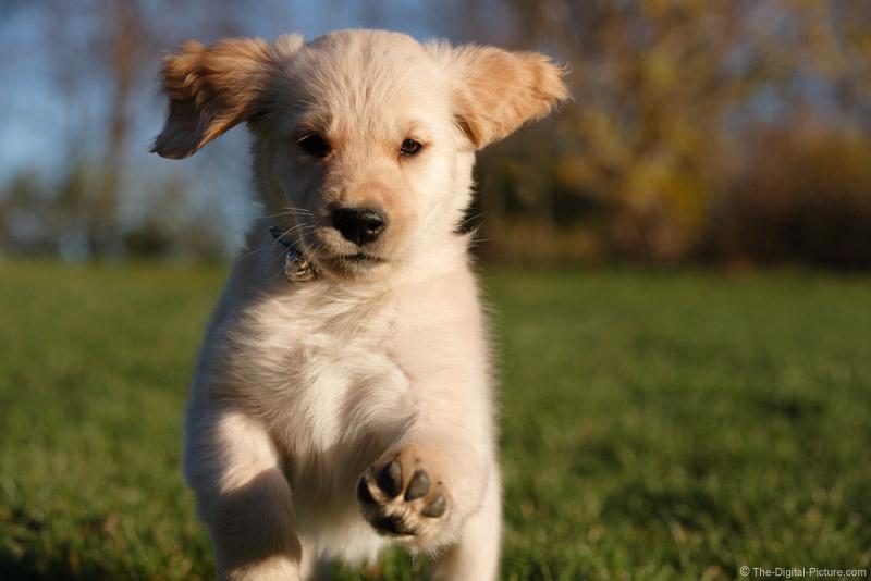 Cute Labrador Puppy Wallpaper Running Golden Retriever Puppy