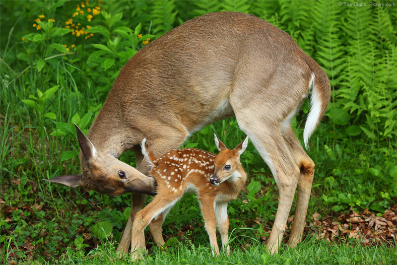 Cute Newborn Baby Hd Wallpapers White Tailed Deer Mother And Fawn Interacting