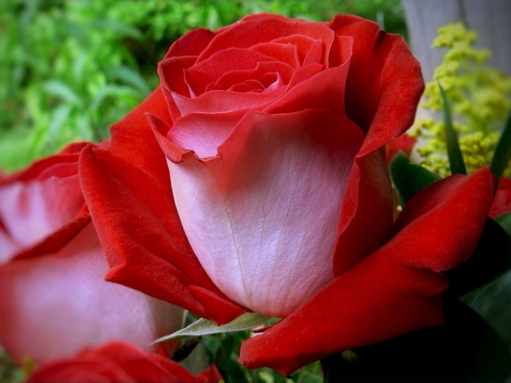 Gulab 3d Wallpaper Download Father S Day Fire And Ice Rose Greenery The Exponent