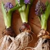 hyacinth-roots-220x220