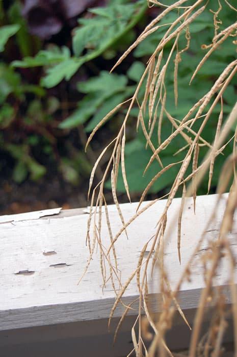 Saving-Mizuna-seeds1