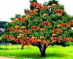 Tree of Ashoka