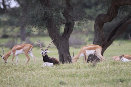 Blackbucks roaming freely in a relaxed atmosphere