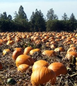 Pumpkins - perfect for your pumpkin ale recipe