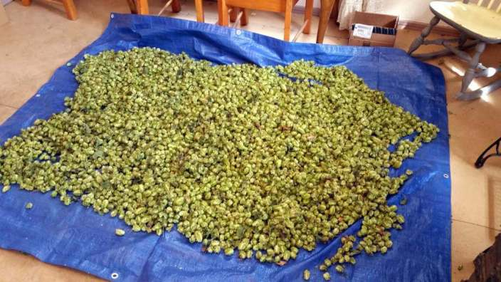 Hops drying at Steens Mountain Brewing