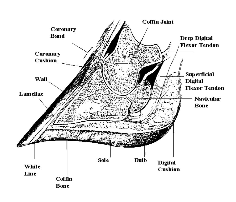 foot structure diagram