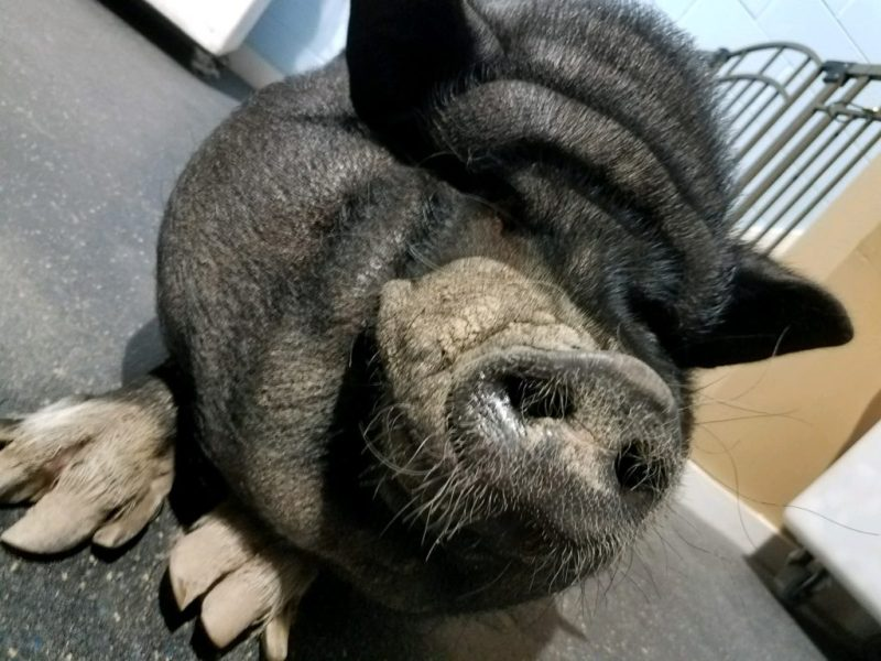 Large Of Pig The Dog