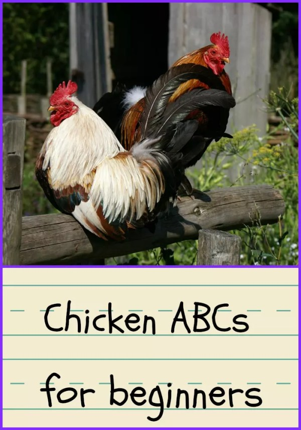 Learn the ABCs of Chickens, something all new chicken owners need!