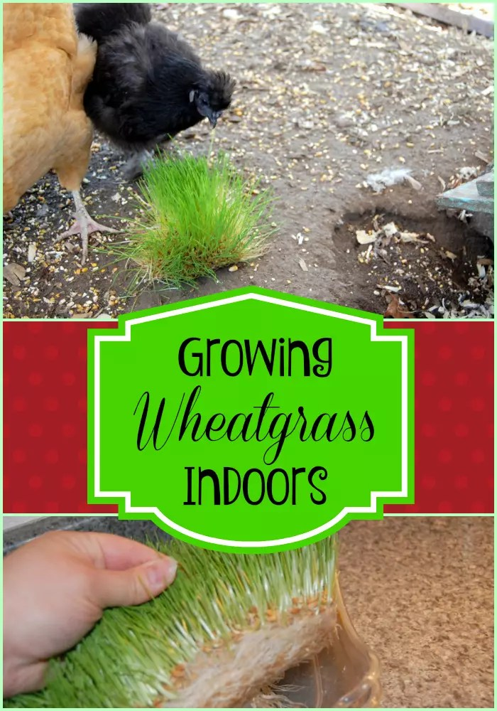 How to Grow Wheat Grass for Chickens