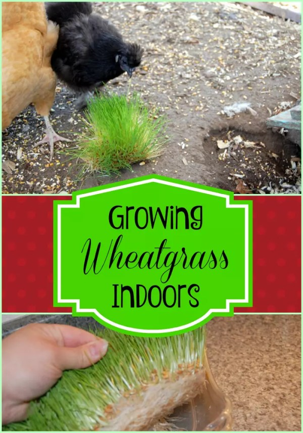 Chickens enjoy fresh greens year round. Growing wheatgrass indoors is an easy and inexpensive way to keep your flock healthy even in the winter!