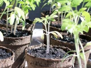 Top tips for huge tomato harvest