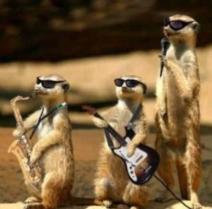 meerkat musicians