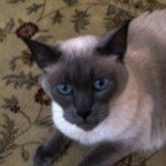 Satisfied Testimonial Siamese Cat