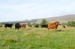 A photo showing some of our herd of Dexter cattle.