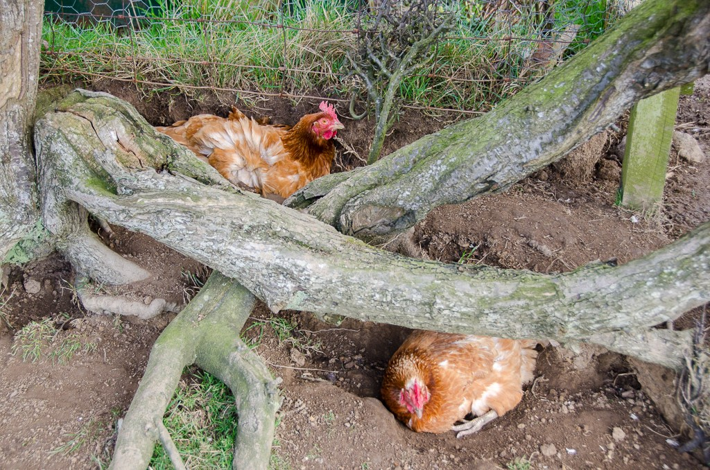 Some of our hens enjoying a dust bath in the hedge