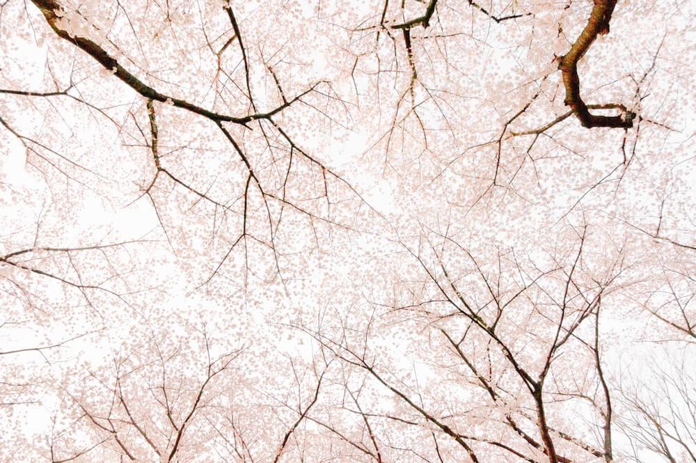 Conoce a la preciosa flor de cerezo Blog Colvin