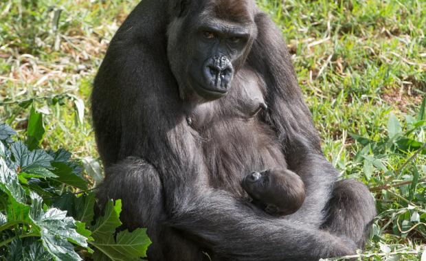 Gorilla Bfast new image mother&child - James Morgan Photographic Consultancy