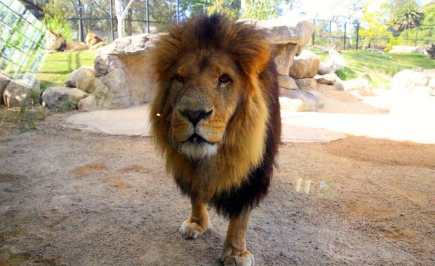 lion-at-glass-Rick-Hammond-web620