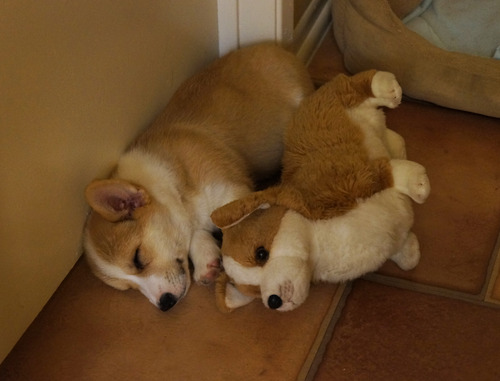 Cute Corgi Puppies Wallpaper 35 Puppies Cuddling With Their Pets During Nap Time