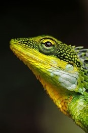 green-yellow-lizard8.jpg