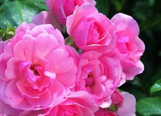 repeat-flowering roses