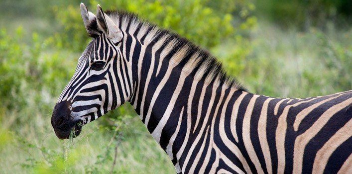 Cute Elephant Design Wallpaper 25 Amazing Facts About Zebras The Fact Site